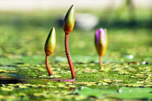 water-lilies-bud-pond-green-99548.jpeg