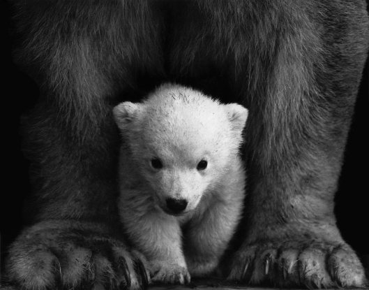 animal-animal-photography-bear-598966 (1)