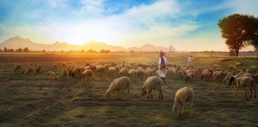 white-sheep-on-farm-693776
