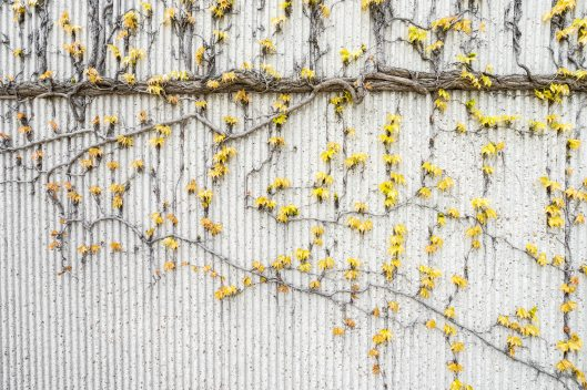 yellow-vines-on-gray-concrete-wall-1029609